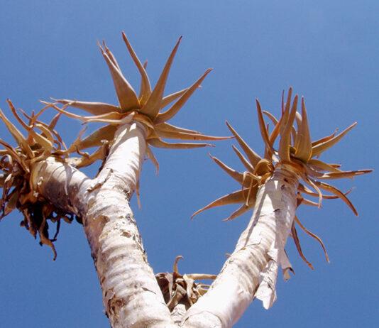 Köcherbaum in Namibia